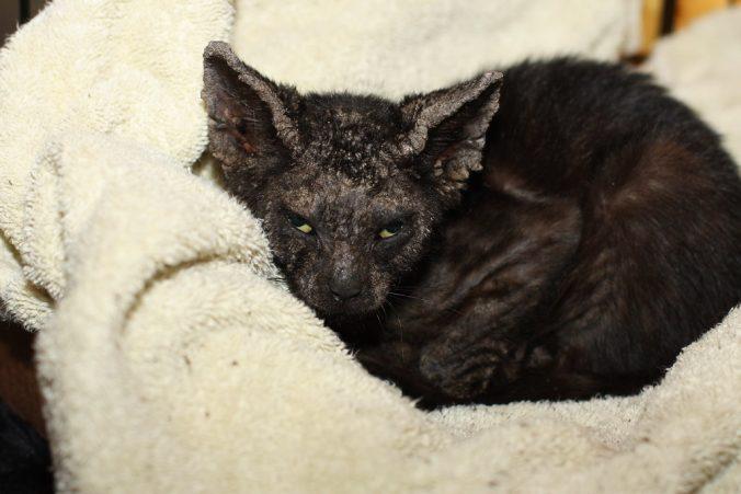 feline scabies